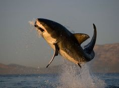 Great white shark taking to the air to snatch its prey, South Africa, photo by Chris Fallows