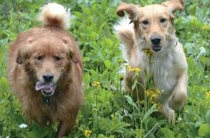 HAPPY ENDINGS Believe it or not, both of these gorgeous Goldens galloped into the life of Jan through rescue organizations: CALVIN (on the left) was placed by a group called Rescue a Golden, and KINSIE (on the right) came through Arizona Golden Rescue. Having been neglected for some time, Calvin and Kinsie were initially afraid of all other dogs. But now, Jan reports, both Goldens are comfortable around other animals and are also inseparable from one another. Here, they romp through the…