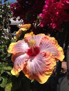 Bright, velvety, exotic hibiscus