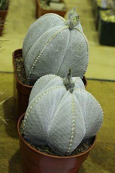 Astrophytum myriostigma & Astrophytum myriostigma | por Pseudolithos