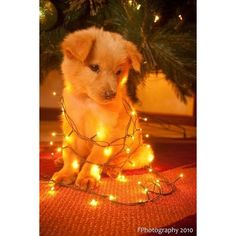 Community Post: 30 Dogs Who Think They're Christmas Trees ❤ liked on Polyvore featuring home, home decor, holiday decorations и dog home decor