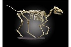 Fossil skeleton: A r