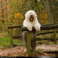 Old English Sheepdog. Love.