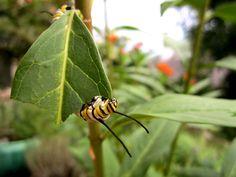 Monarch caterpillar munching on milkweed.