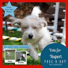 Rupert is a busy and energetic PBGV. PBGVs are the smallest of the French hounds and as such Ruperts nose is always on the hunt. Rupert is training to be in obedience competition as well. Vote for Top Dog! http://ift.tt/1P29vGs #365Dogs #petsofpageaday #DogsofInstagram #DogsofPageADay #DogsofInstaworld #dogs_of_instagram #petstagram #dogstagram #instagramdogs #doglover #instadog #instapet #dogcontest #blacklab #petcontest #dogcontest #dogphoto #dogpic