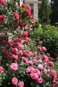 Unique Sea Foam Palmengarten Frankfurt Roses in russian privet gardens Pinterest Sea foam and Gardens