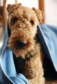 Airedale adorableness. -- Curated by Noah's Ark Mobile Veterinarian Service | 784 Raymer Rd, Kelowna BC V1X1A2 | (250) 212-5069