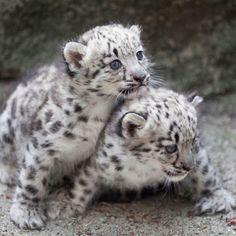 Beautiful snow leopard babies