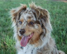 MINI AUSSIE Sassy is an adoptable Australian Shepherd Dog in Anaheim, CA. Sassy is a gorgeous, red merle, three-year old girl who needs a home where she will get lots of attention.