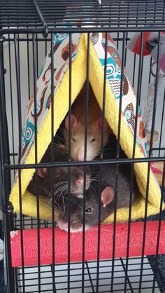 Pyramid of happiness - RATS Rat Care, Dumbo Rat, Fancy Rat, Cute Rats, Pet Mice, Cute Creatures, Rodents, Ratatouille, Cute Baby Animals