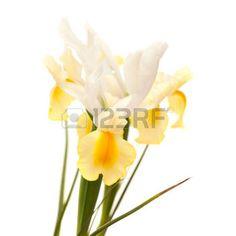yellow iris flower: yellow and white iris flower isolated on white background Stock Photo