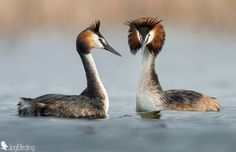 Photo Loving Grebes by jose pesquero on 500px