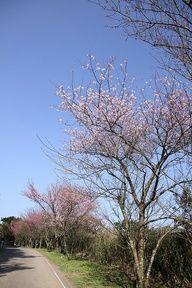 Sakura at Yangmingshan National Park #Taiwan #jsiglobal