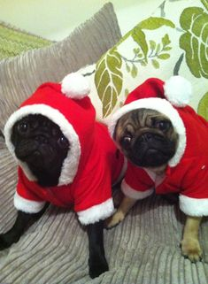 wistfullywatching:  My brother's pugs all dressed up for Christmas!