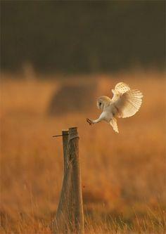 Barn Owl (Birds of Prey, Owls)