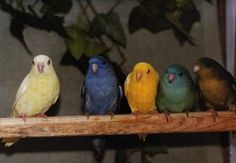 Creamino, Cobalt, Lutino, Turquoise, Olive  Lineolated Parakeet Color Mutations