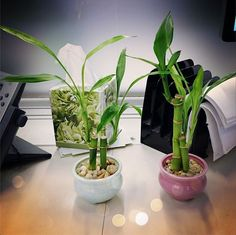 Plante retombante s dum plante grasse exterieur jardiland plantes retombantes pinterest - Bambou en pot jardiland ...