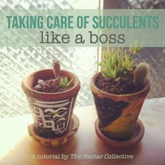 Taking Care of Succulents Like a Boss.  My jade is going to thank me.  Can't manage to figure out just how much water is enough for this guy.- if u ignore the cussing this is a good article I have to succulents that I just bought and needed to know some of this