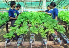 Hydroponics introduced in dry zone villages - via http://www.mmtimes.com/index.php/national-news/4041-hydroponics-introduced-in-dry-zone-villages.html