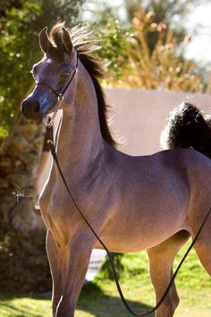 i wish they stayed this color forever. Beautiful Arabian Horses, Pretty Horses, Beautiful Creatures, Animals Beautiful, Arabian Beauty, Camels, Horse Care, Animals Of The World, Horse Breeds