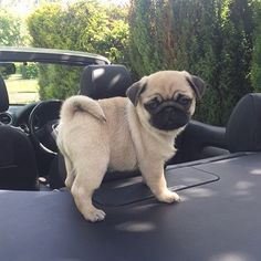 Can I drive dis time? | photo by @talulahthepug by pugbasement