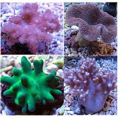 Beginner soft coral pack aquarium pinterest soft for Saltwater fish tanks for beginners