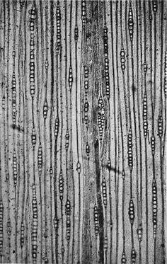 wood cells