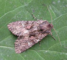 The Moths of Suffolk - 2250 Dark Brocade, Blepharita adusta, (Esper, Mothman, Tapestries, British, Butterfly, Dark, Beauty, Butterflies, Hanging Tapestry, Tapestry