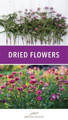 There are so many ways to use dried flowers, seed pods, and grasses: in late autumn arrangements, adorning fresh holiday wreaths, or even mixed with fresh blooms. We thought it would be helpful to share some of the varieties that are the easiest to grow and most popular for drying.  #floret #growfloret #driedflowers Homestead Gardens, Farm Gardens, Native Gardens, Cut Flower Garden, Flower Farm, Dried Flower Wreaths, Dried Flowers, Shade Perennials, Shade Plants