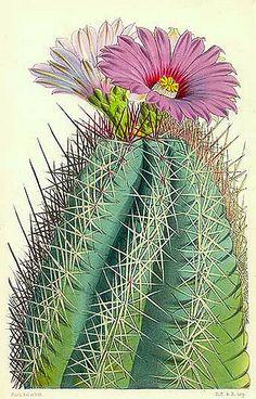 The Botanical Magazine by Curtis  Cactus: Echinocactus Rhodophthalmus, Mexico  19th century