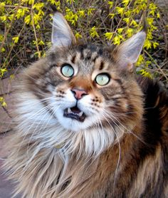 Persian Cat For Sale We adore cats with long hair. Learn about some of our favorite breeds, including the Persian, Maine Coon and Norwegian Forest Cat. Maine Coon Kittens, Cats And Kittens, Ragdoll Kittens, Tabby Cats, Funny Kittens, Bengal Cats, White Kittens, Black Cats, Kitty Cats