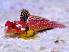 A stunning ruby red dragonet of the genus Synchiropus has made a big splash in aquariums around the world. Starting in South Africa, then on to Singapore, Japan and Los Angeles, the brilliant red dragonet has been spotted in shipments of red scooter blennies from a unique collection location in teh Philippines.