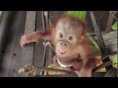 Orangutan Baby Rickina!