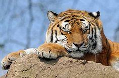 Tiger 0412 6262 | by Ross Elliott