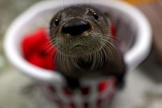 Small otter in a laundry basket