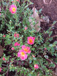 Purslane (portulaca oleracea): This lovely summer flowering plant is generally annual in your area, but reseeds freely and shows up year after year. Grows best in plenty of sun, regular water no more than weekly.