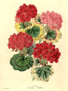 Geraniums. 1. Lady of Loretta. 2. Royal Standard. 3. Fontainbleau. 4. Gulford Beauty. Bouquet of four varieties of Geranium by James Andrews (1801-1876