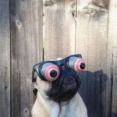 I must buy these for my pug.