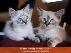 We are Siamese, if you please. #kitten #kittens #rescuecat