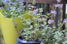 niezapominajki i kocimiętka Plants, Balcony, Plant, Planets