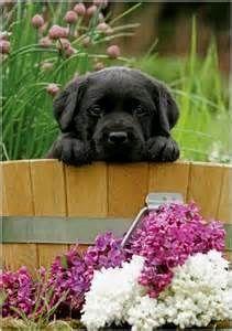 Black Labrador Retriever Puppies - Bing images