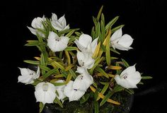 Dendrobium subuliferum 'Snow Top' CHM/AOS 1077