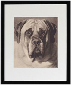 Mastiff book page photo illustration antique by TheAntiqueDog