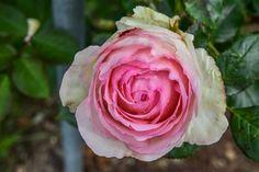 Die perfekte Rose in Volcji Potok, Slowenien  ... #ifeelslovenia #volcjipotok #rosengarten #twoslo
