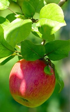 applecottage.quenalbertini: Red and Green Apple Cottage