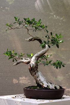 The twisting Trunk gives the viewer a sense that the tree has struggled to survive - beautiful Bonsai Bonsai Forest, Bonsai Art, Bonsai Garden, Boxwood Bonsai, Plantas Bonsai, Ikebana, Cherry Bonsai, Dwarf Trees, Bonsai Styles