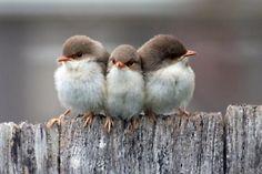 3 Little Birds Upon My Shoulder...