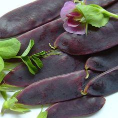 PISUM sativum - Shiraz (Mangetout) - Mazare cu teci comestibile, mov