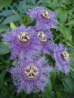 This Passion Flower is so beautiful, it almost looks like it isn't real! #passionflower #inbloom #purpleflowers
