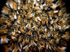 La abeja 'Apis mellifera' segrega una potente toxina con el potencial de destruir no solo el virus VIH, sino también ciertos tipos de tumores.